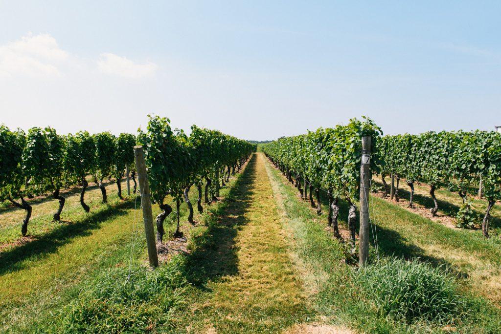 image of north fork long island vineyard