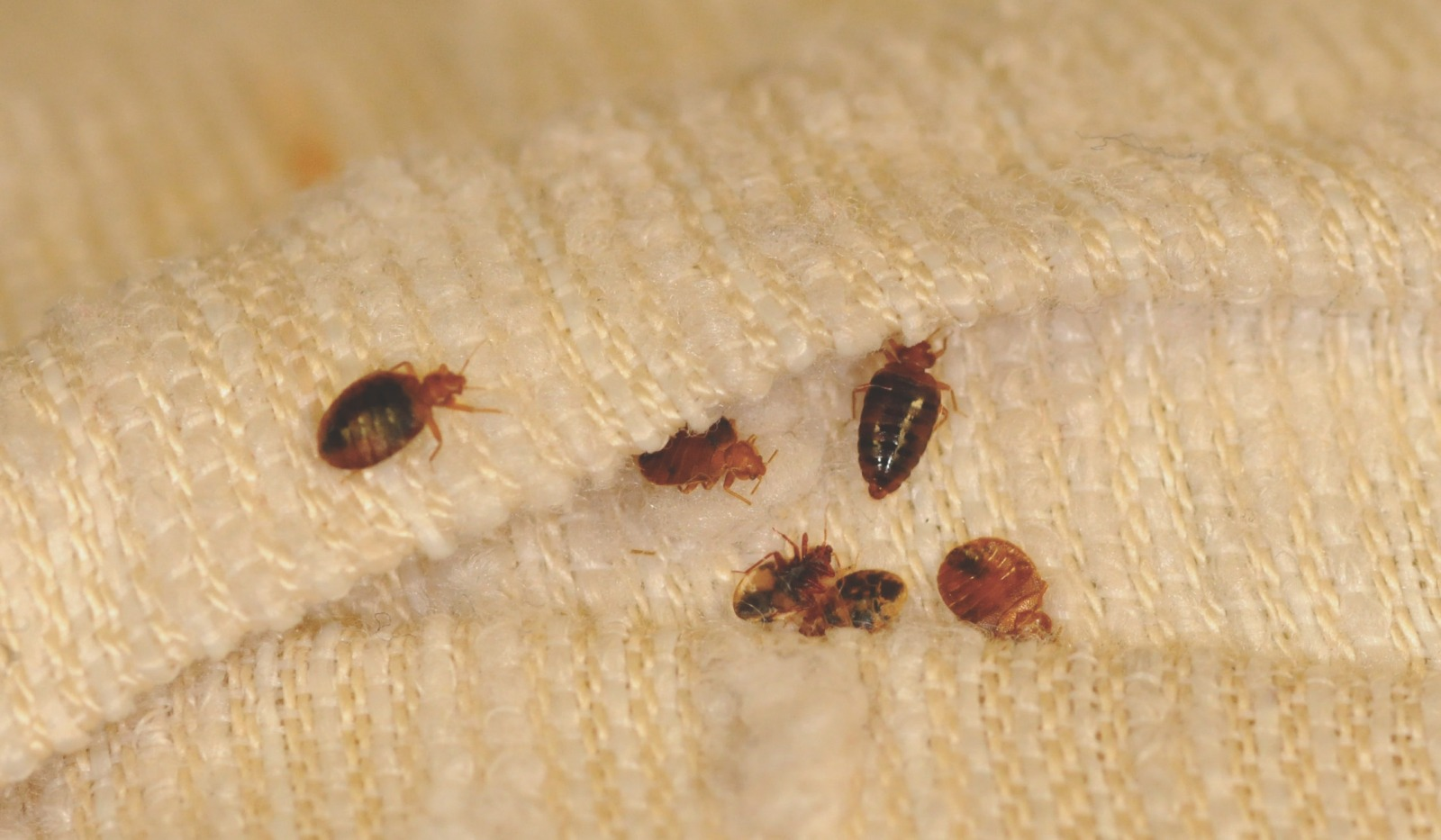 Bed Bugs In Nyc How To Recognize And Get Rid Of Them Streeteasy