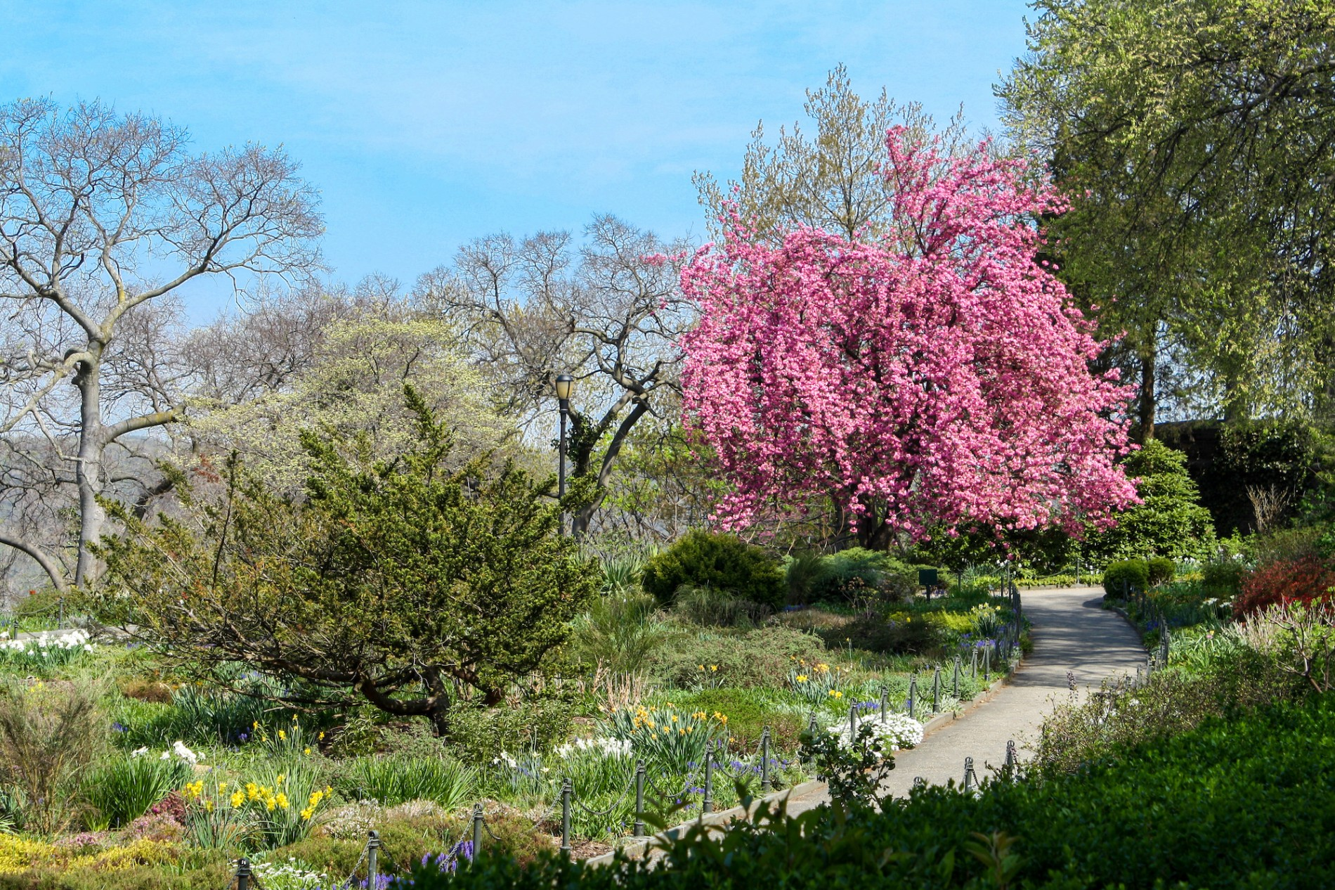 Heather and cherry blossoms in Fort Tryon Park's heather garden