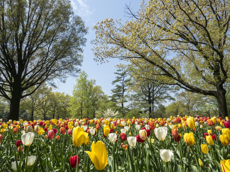 Spring tulips in Queens Botanical Garden, best gardens in nyc