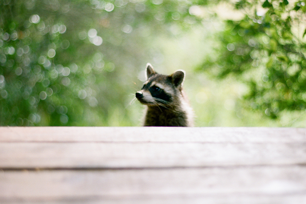 cash home buyer raccoon looking at porch